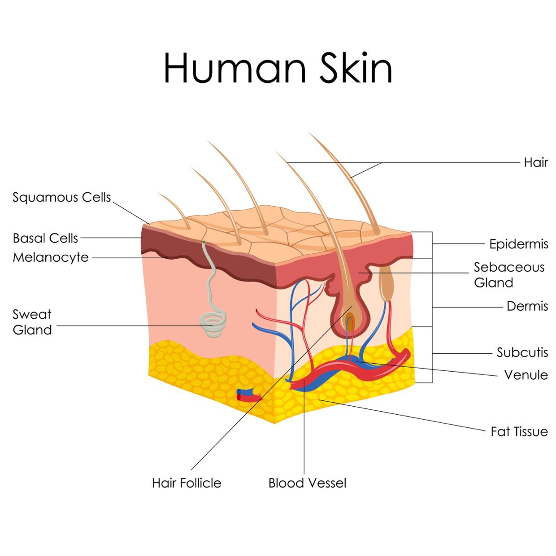 Biopsy, Dermatoautoplasty, Dermatoheteroplasty, Dermatolo.