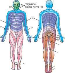 Dermatomal distribution | definition of dermatomal distribution by Medical  dictionary