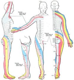 Dermatome. Grant 1962 663.png