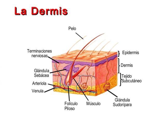 Capas de la Dermis