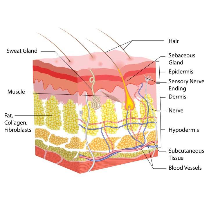 Dermis and Epidermis