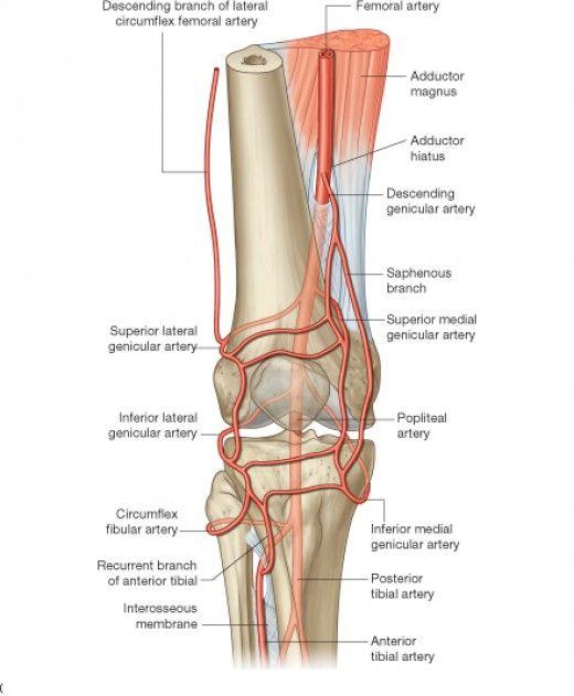 descending artery of knee