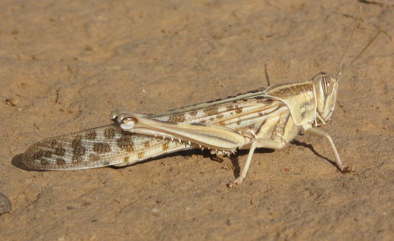 Solitary desert locust (© A. Foucart/CIRAD)