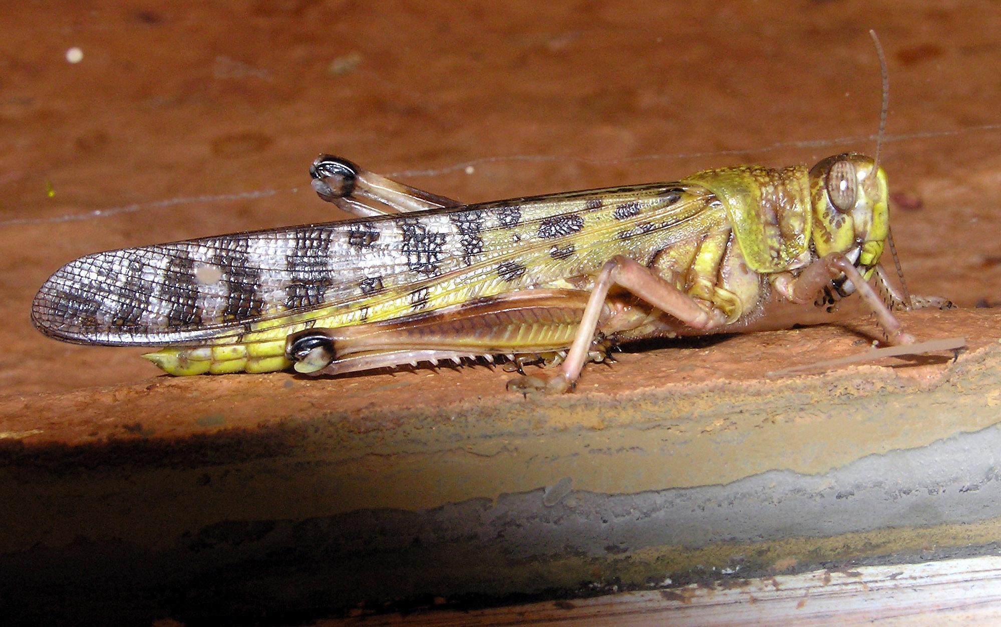 Archivo:Desert.locust.arp.jpg