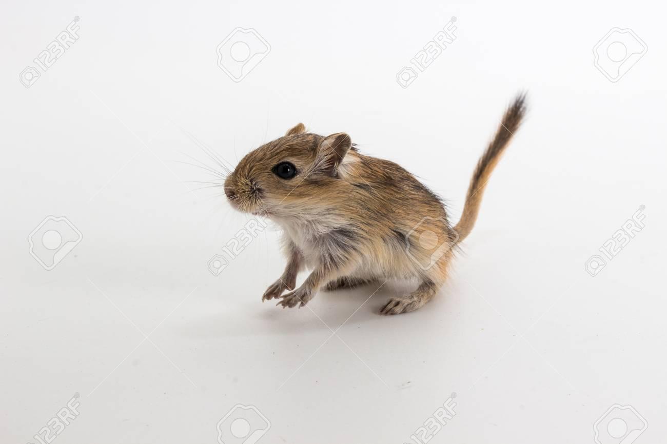 Litter Mongolian gerbil, Desert Rat on white background Stock Photo -  73418515