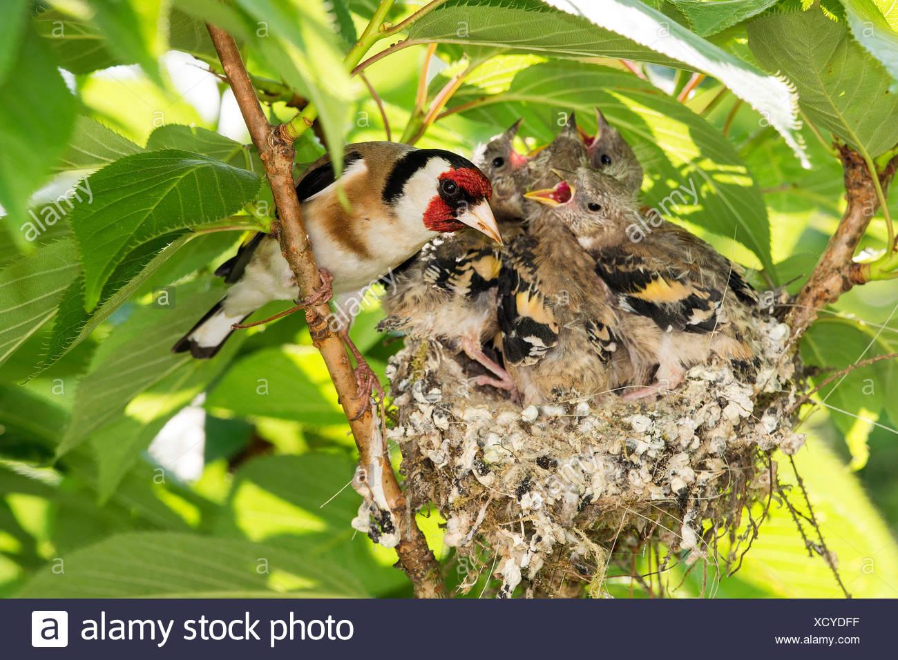 Stieglitz, Distelfink (Carduelis carduelis), am nido mit Jungen flueggen  rápido, Deutschland, NRW | Eurasiática jilguero (Carduelis