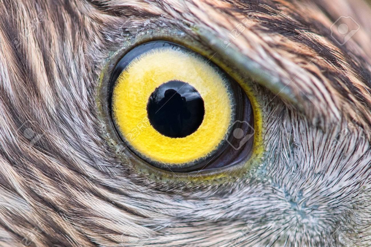 eagle eye close-up, eye of the Goshawk Stock Photo - 93534221