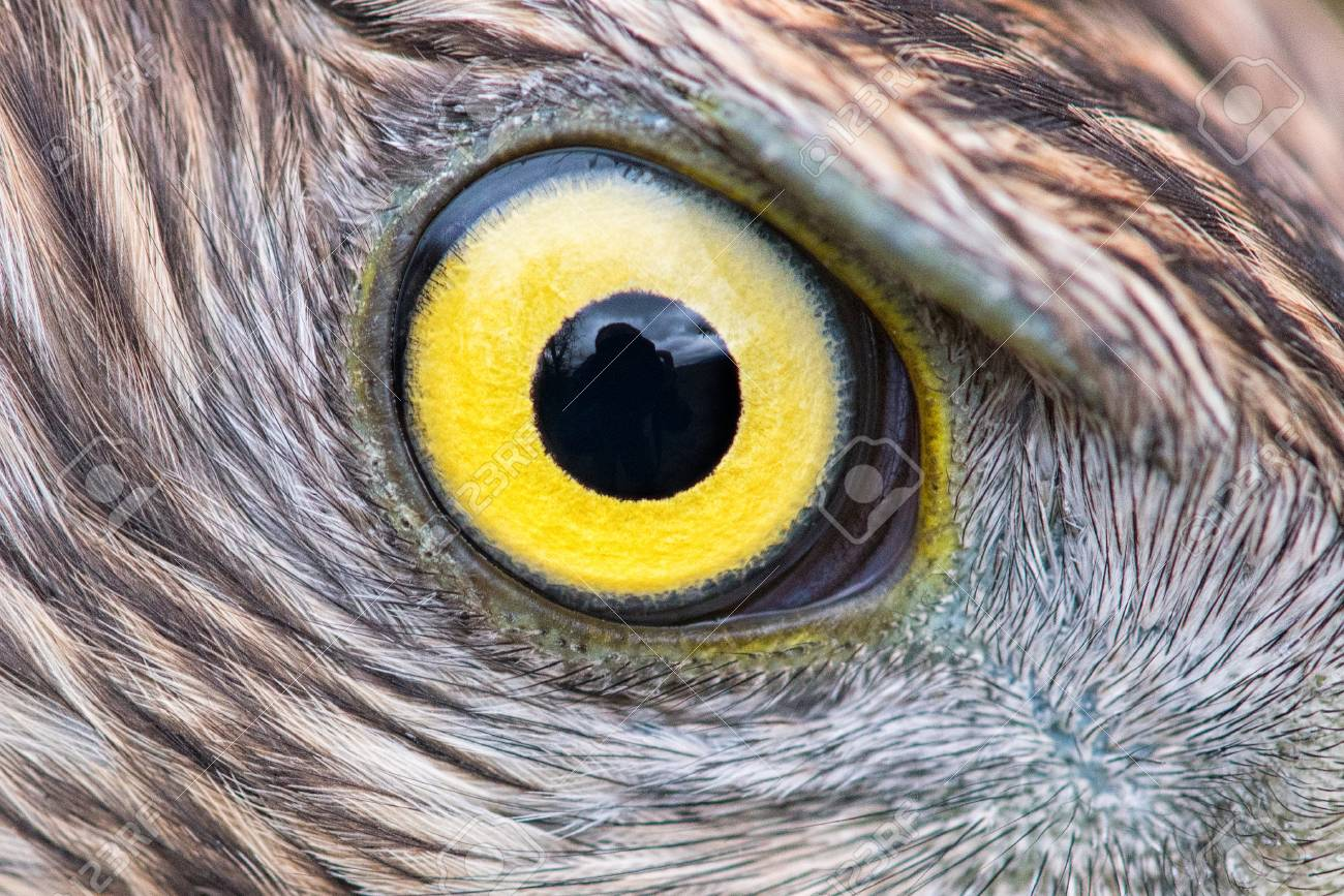 Eagle Eye Close Up Eye Of The Goshawk Stock Photo 93534221
