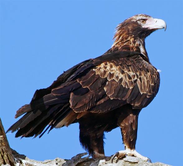 Wedge-tailed eagle, eaglehawk (Aquila audax).