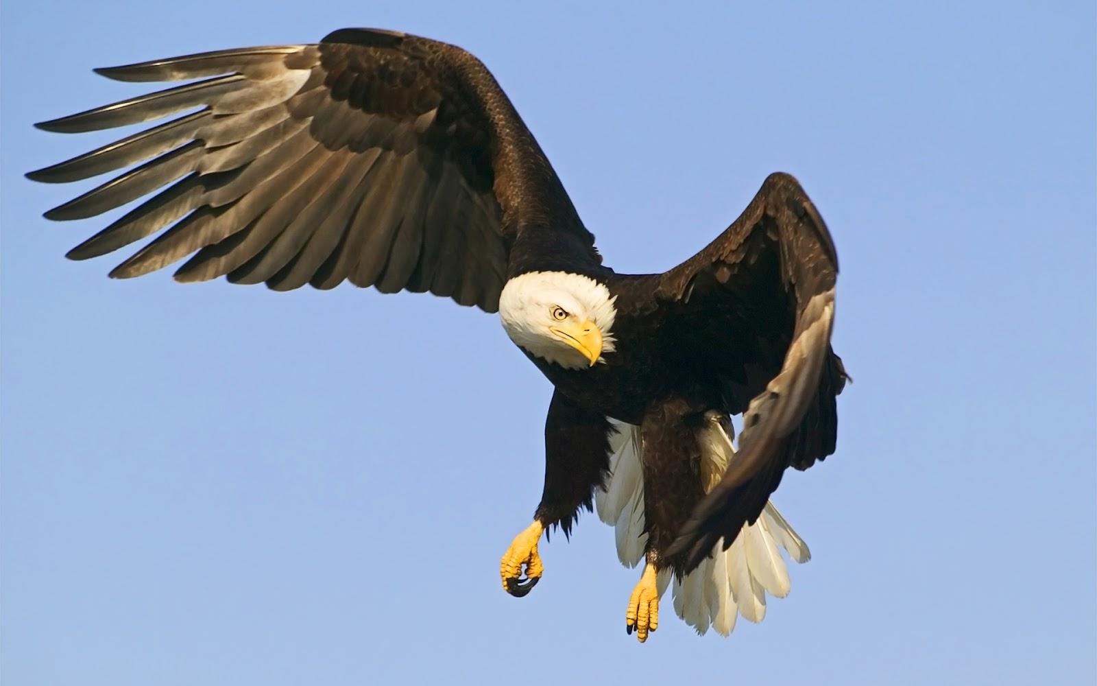 Eagle Hawk Wallpapers
