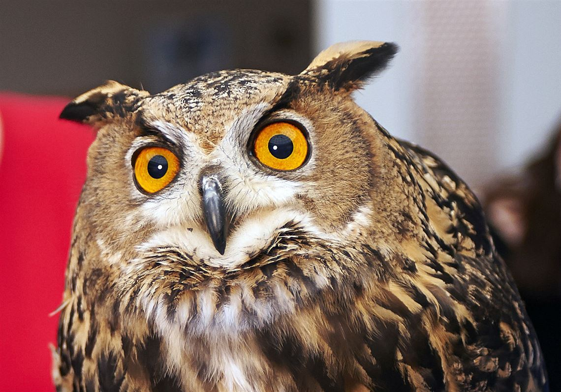 An adult Eurasian eagle Owl at the National Aviary.