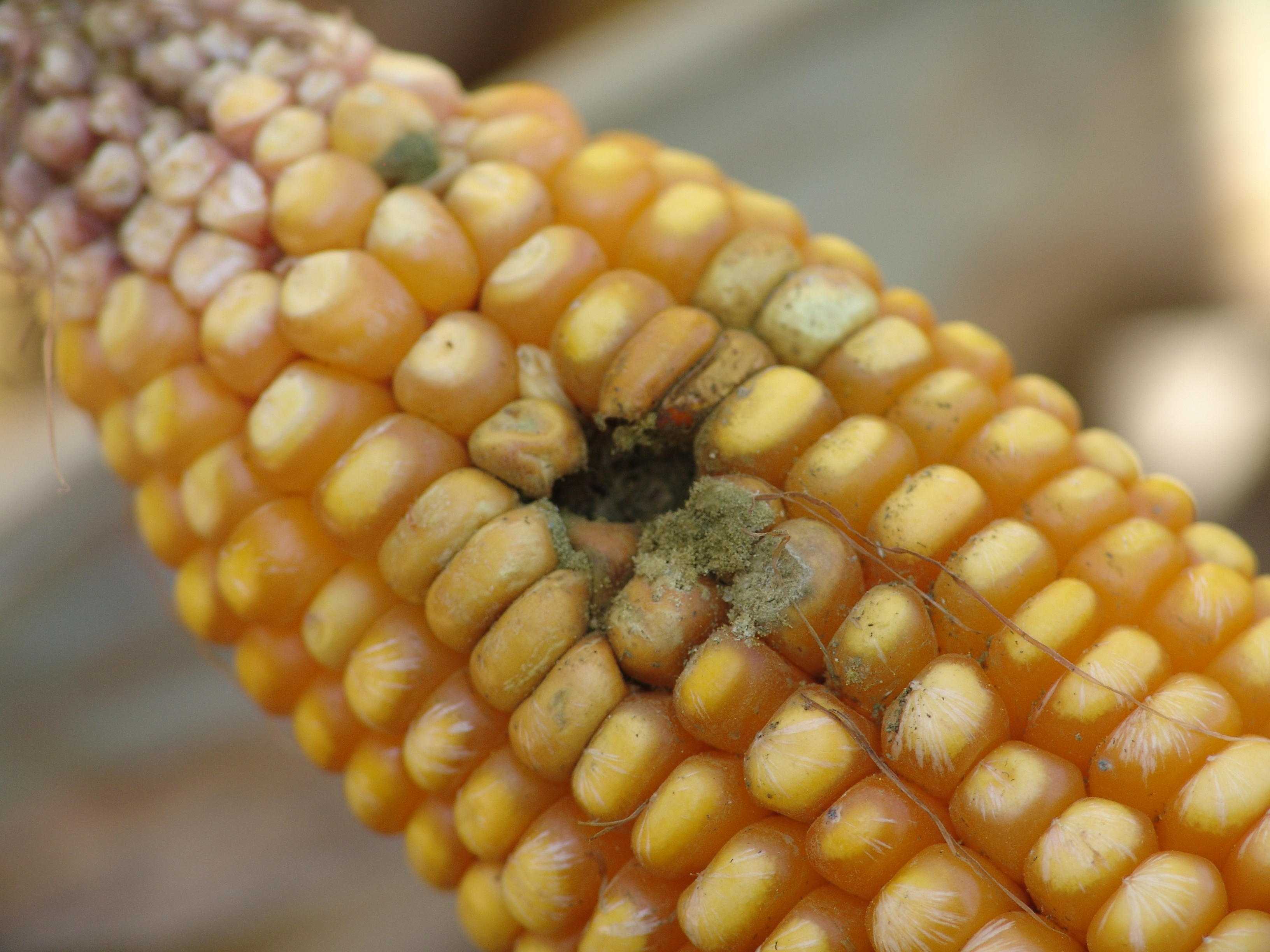 Ear and Stalk Rot Diseases Becoming More Common in Corn Fields | CropWatch  | University of Nebraska–Lincoln