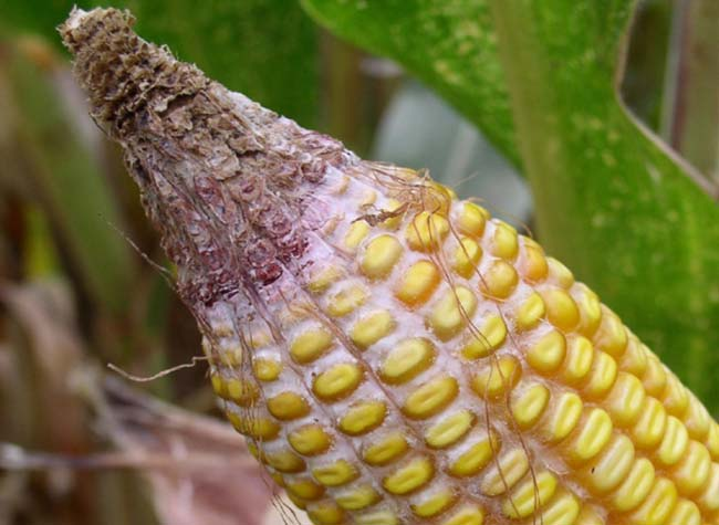 Corn ear damaged from gibberella ear rot