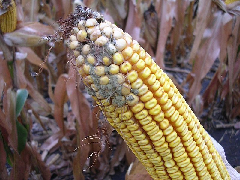 Aspergillus Ear Rot on corn