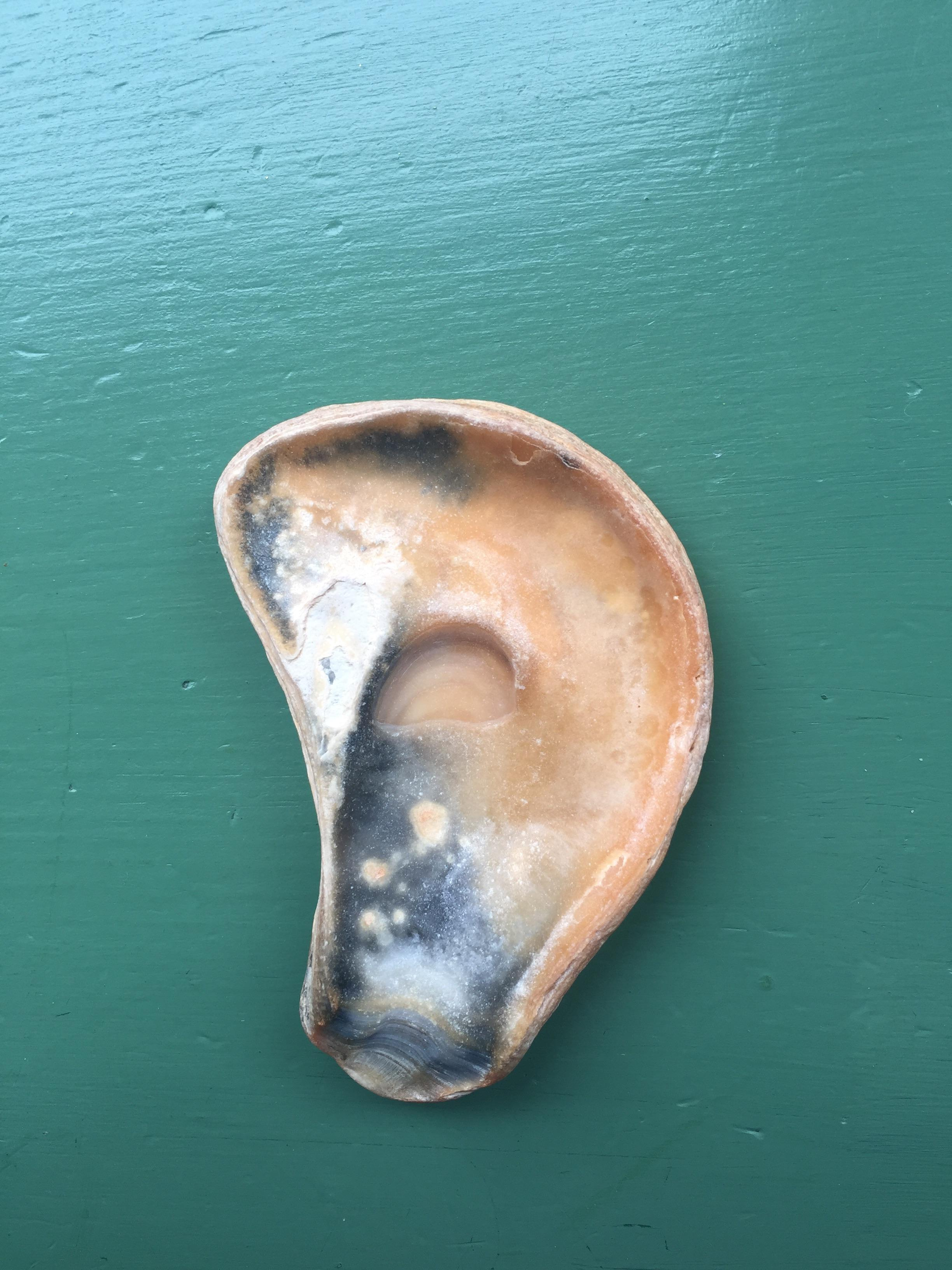 This shell looks like an ear