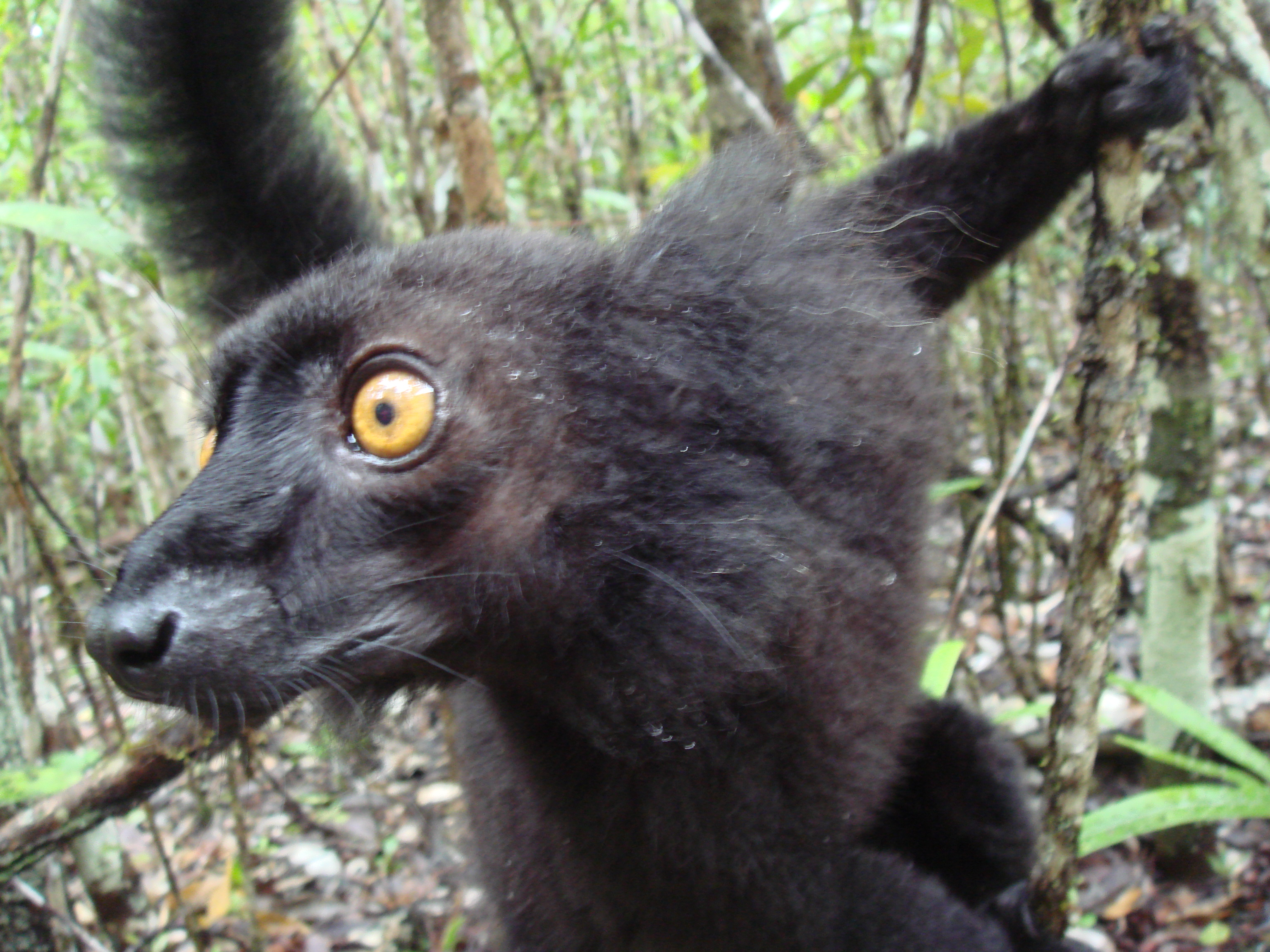 File:Eulemur macaco - ear tufts.jpg