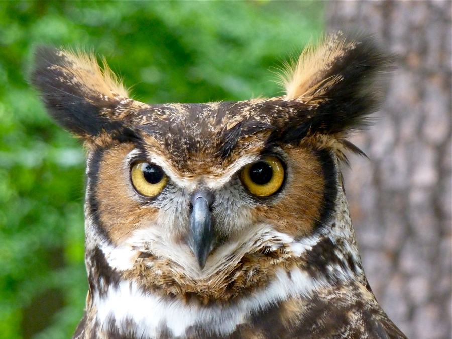 Great Horned Owl ear tufts. «