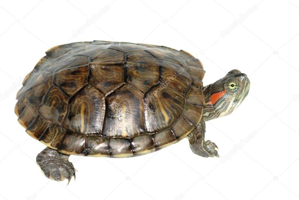 Pet turtle red-eared slider(Trachemys scripta elegans) — Fotos de Stock