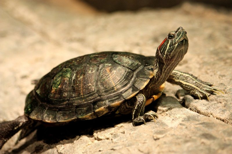 Red-eared sliders: cute but trouble.