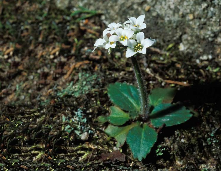 Photo of early saxifrage plant with flower