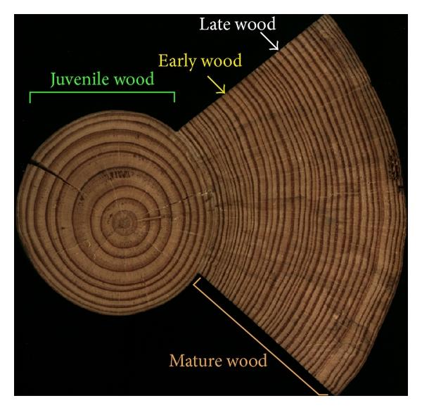 early wood
