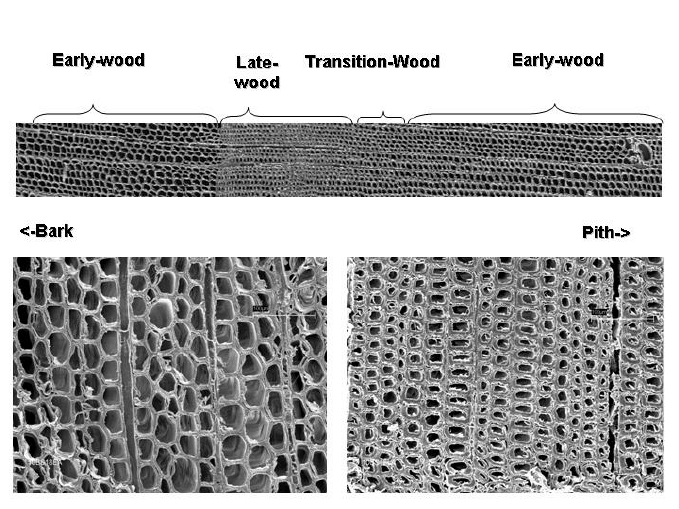 Cellular structure of earlywood and latewood. (micrographs courtesy of  Beecher, USDA Forest Service