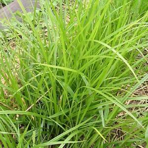 Image is loading Cyperus-Esculentus-v-Sativus-10-Seeds-Tubers-Tigernut-