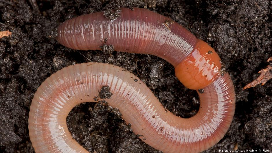 Earthworm numbers dwindle, threatening soil health   Environment  All  topics from climate change to conservation   DW   30.01.2017