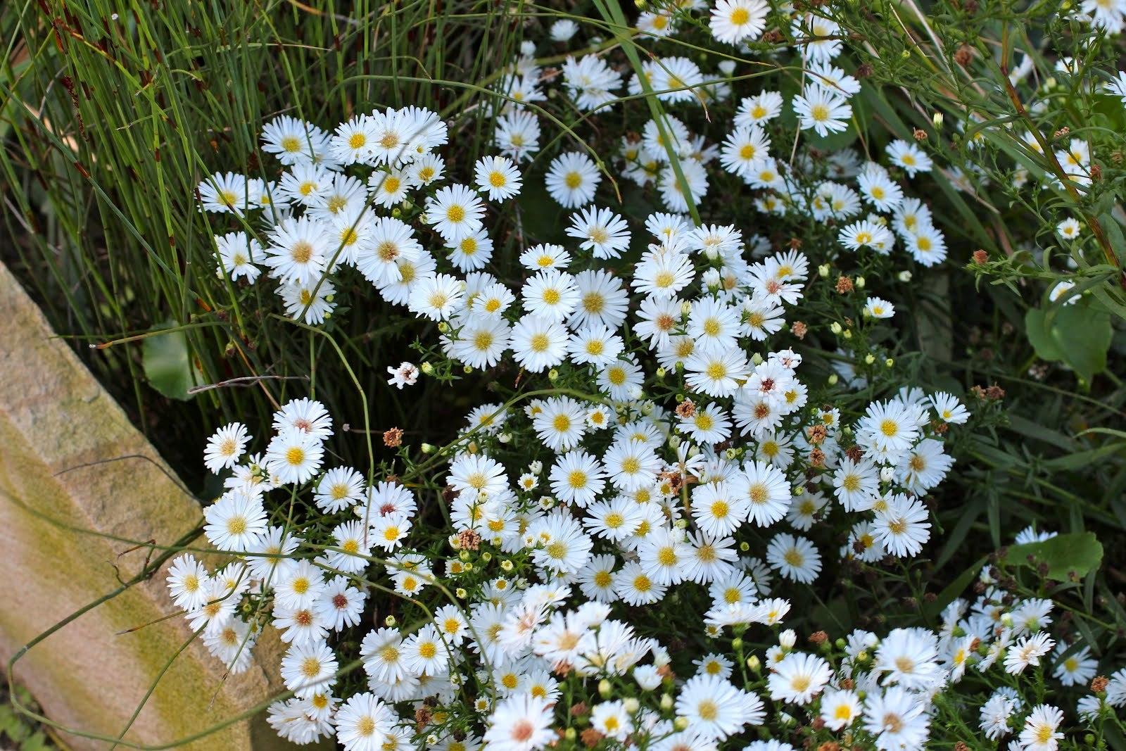 easter daisy