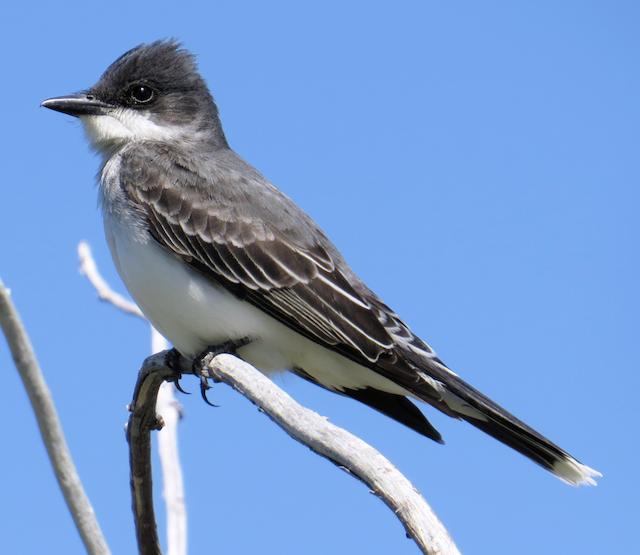 Eastern Kingbird in Alternate Plumage.