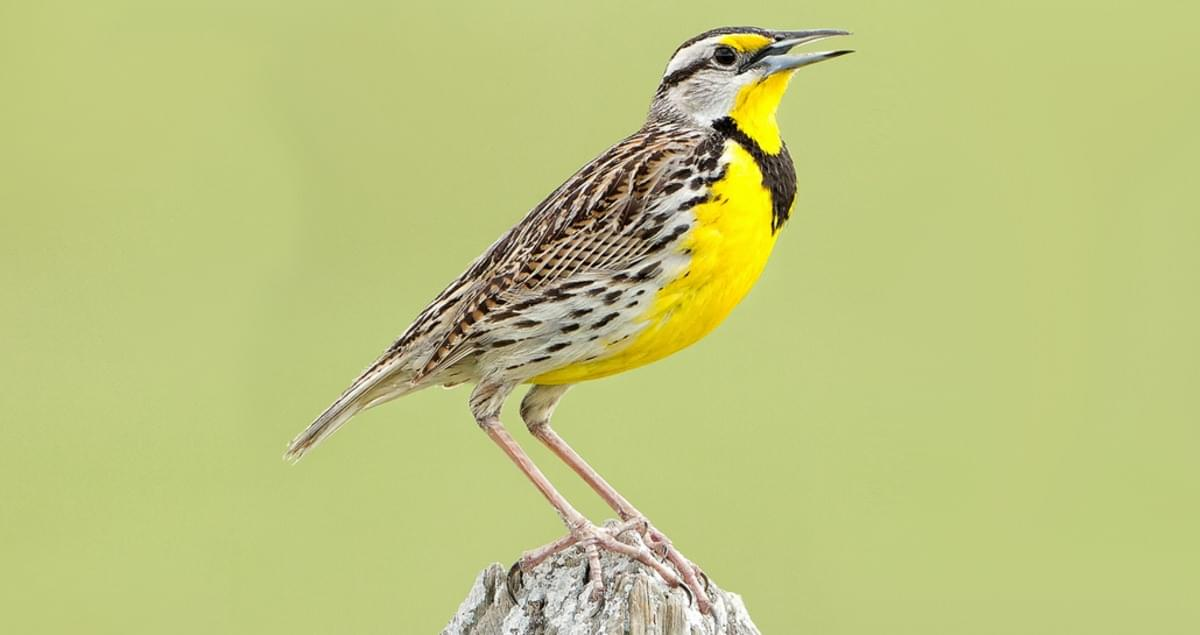 Eastern Meadowlark Identification, All About Birds, Cornell Lab of  Ornithology