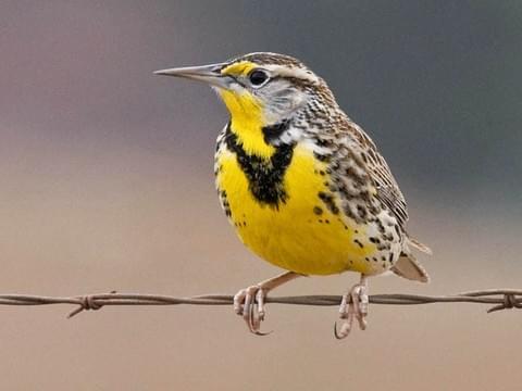 Western Meadowlark Breeding adult is similar to Eastern Meadowlark