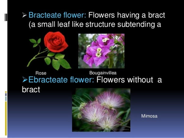 Ebracteate means without a Bract.