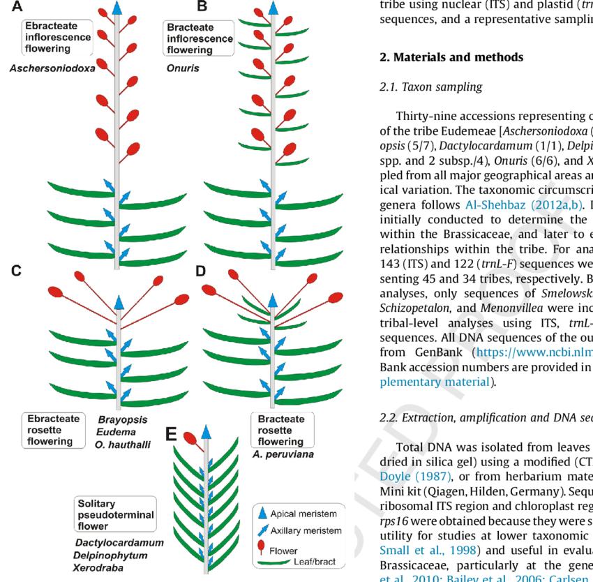 Diagrams of inflorescences present in Eudemeae. (A), Ebracteate  inflorescence flowering; (