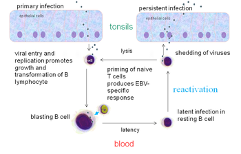 The EBV replication cycle