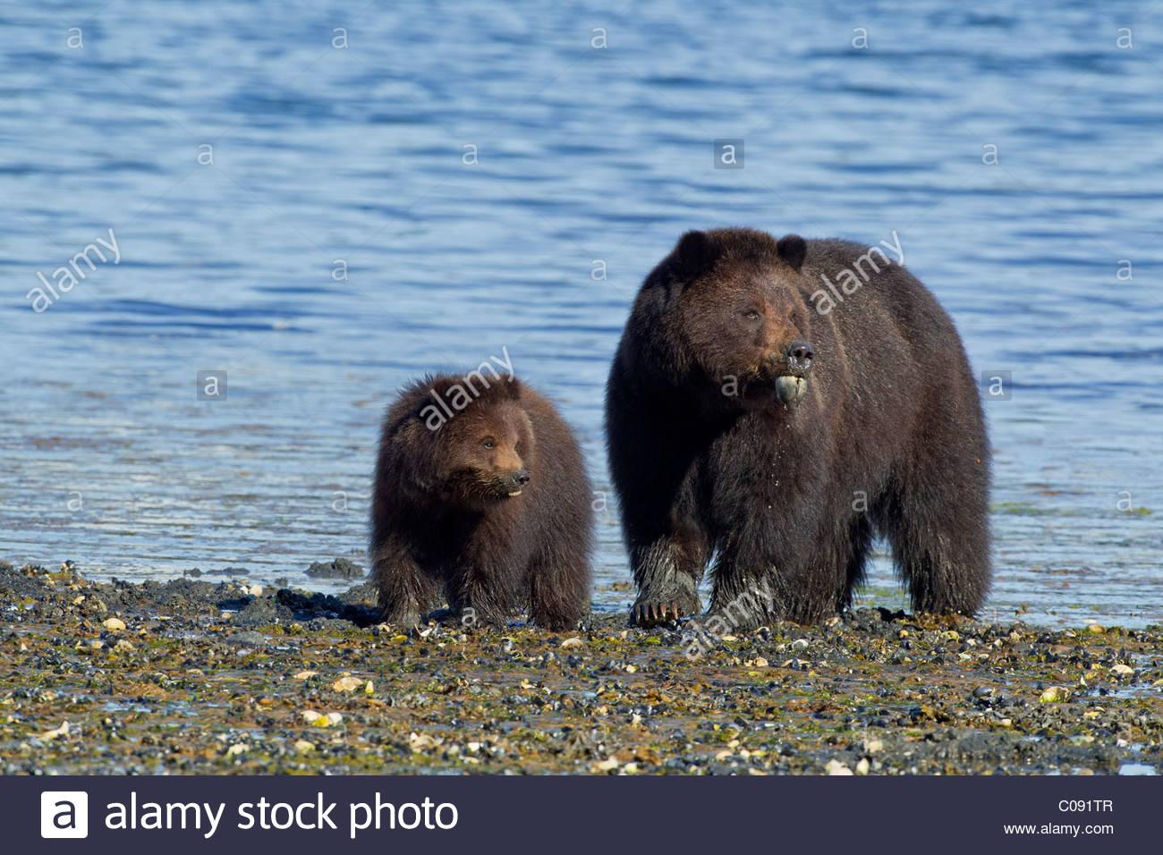 Los osos pardos de comer cucharada gusanos (echiuroid) y las almejas, a lo  largo de la costa, en la Isla del Almirantazgo Tongass National Forest,  Alaska