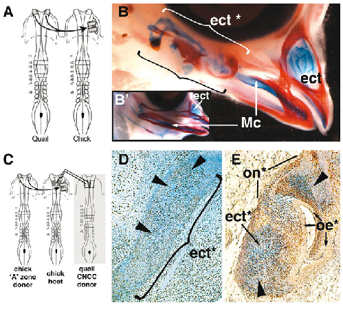 NF-ZA instructs CNCCs to form the ectethmoid. (A)Ectopic graft of quail  NF-ZAs in the presumptive first pharyngeal arch (PA1) region of a  stage-matched