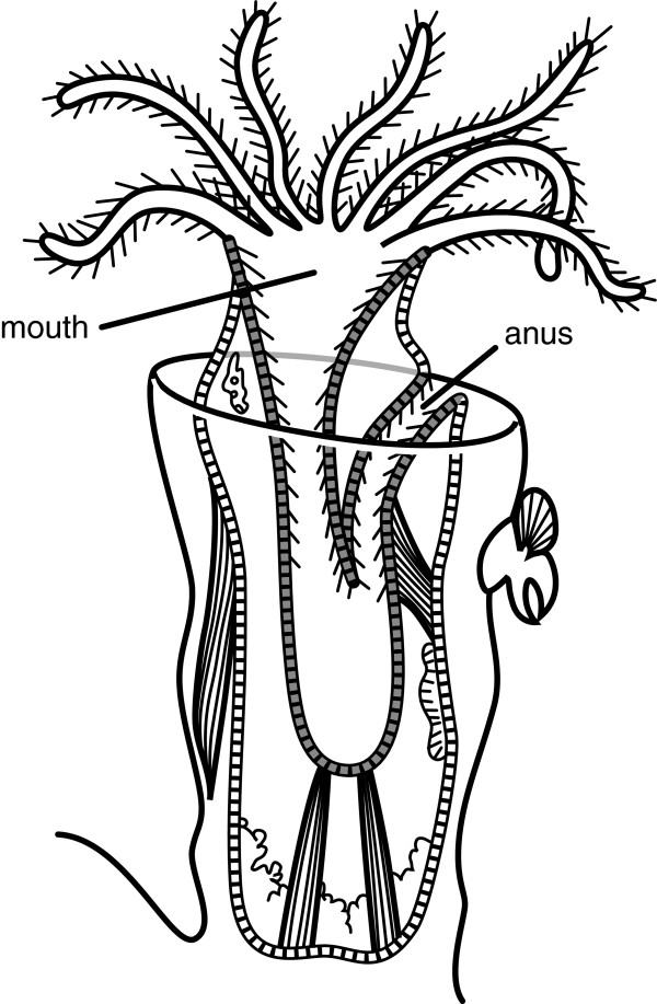 An individual zooid of the colonial ectoproct Bugula. This species  possesses a U-shaped gut and the location of the anus is adjacent to the  mouth.