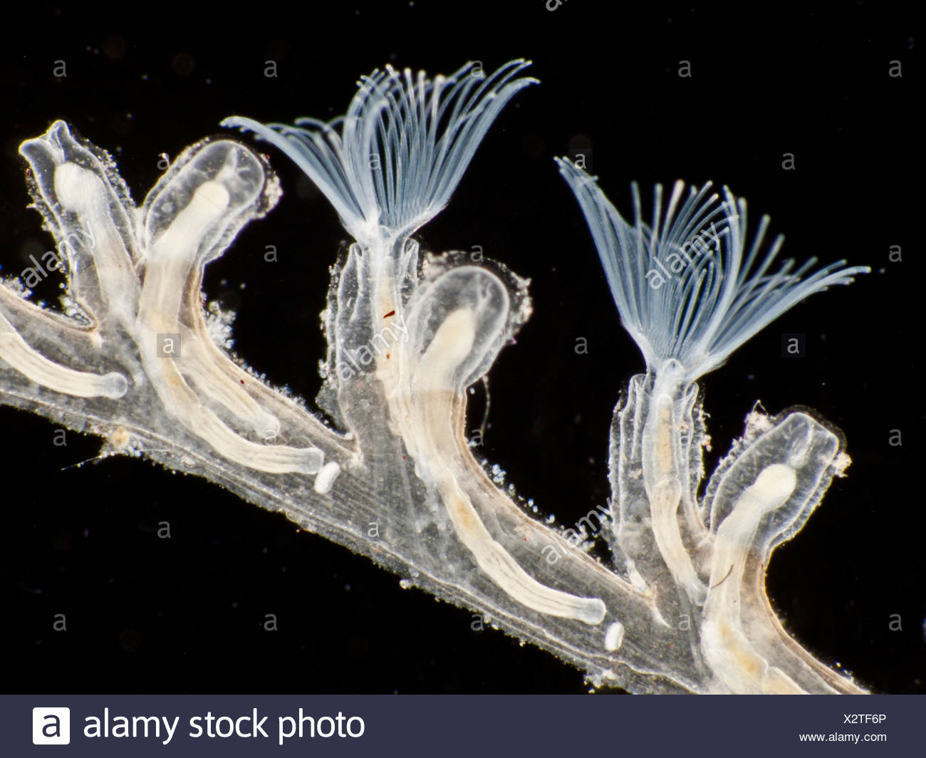 Plumatella repens (Plumatella repens), colonial zooid, Alemania Imagen De  Stock