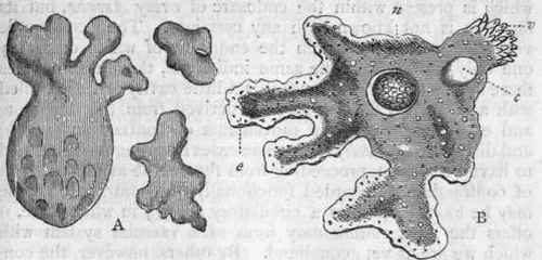 ectosarc