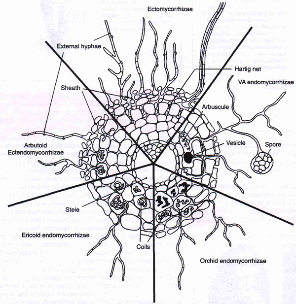 The principle structural features of the five main types of mycorrhiza.  From Selosse & Le Tacon (1998) with permission from Elsevier Science.