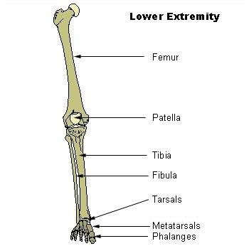 Huesos de las extremidades humanas inferiores