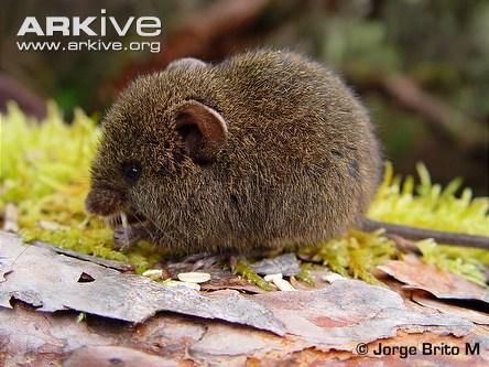Ecuadorean grass mouse feeding