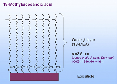 The f-layer – 18-methyl eicosanoic acid is intimately bound to the exo