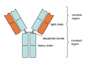 Heavy and light chains, variable and constant regions of an antibody.