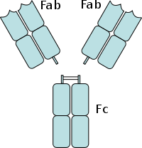 An antibody digested by papain yields three fragments: two Fab fragments  and one Fc fragment