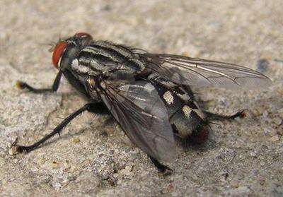 Face Flies