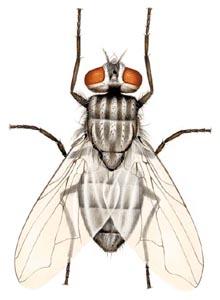 Face Flies Overwinter