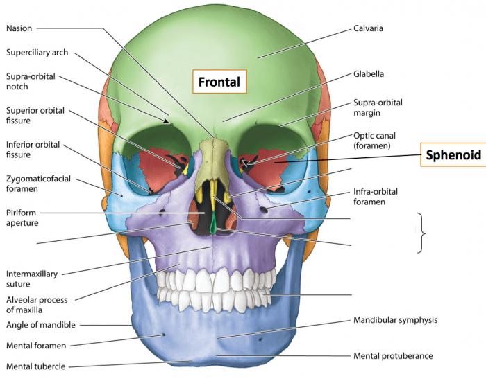 Facial Bone Liberal Dictionary