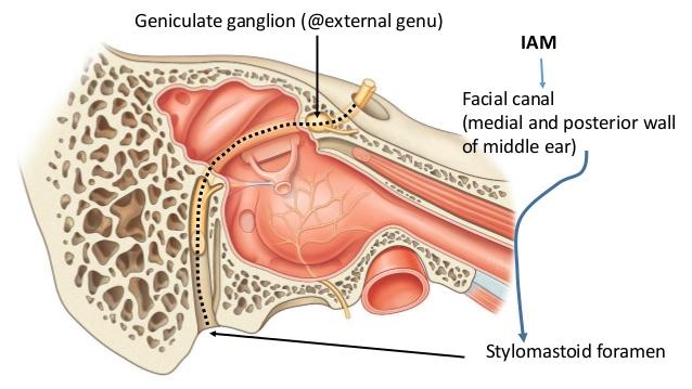 Stylomastoid foramen; 10. Branches of facial nerve Within facial canal